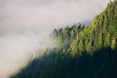 Forest disappearing in fog. Morning, coniferous forest disappearing in fog, southern Poland Royalty Free Stock Photo