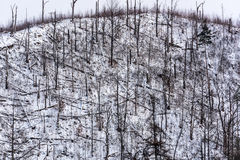 Forest disaster. Forest of fallen spruce trees on the side of a mountain in winter Royalty Free Stock Images