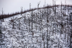 Forest disaster. Forest of fallen spruce trees on the side of a mountain in winter Royalty Free Stock Photo