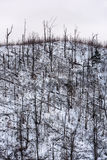 Forest disaster. Forest of fallen spruce trees on the side of a mountain in winter Royalty Free Stock Photography