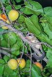 Forest dormouse and apricots Royalty Free Stock Photography