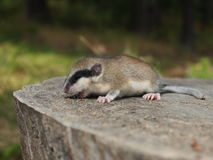 Forest Dormouse, Dryomys-nitedula Stockfoto