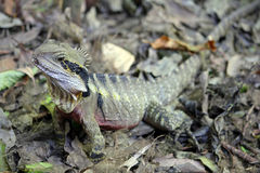 Forest dragon Stock Photography