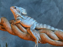 Forest dragon. Boyd's Forest Dragon, (Hypsilurus boydii or Gonocephalus boydii), Daintree, North Queensland, Australia royalty free stock images