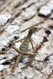Forest dragon in tropic of India. Macro photo  reptiles Little Andaman,  Sea. Lizard. Forest dragon in tropic of India. Macro photo of reptiles. Lizard Stock Photo