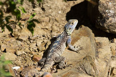 Forest dragon in tropic of India. Macro photo reptiles Little Andaman, Sea. Lizard. Forest dragon in tropic of India. Macro photo of reptiles. Lizard Royalty Free Stock Photo