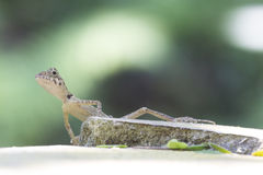 Forest dragon of the tropical forests of India Stock Image