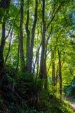 Forest Dreams Arkivbild