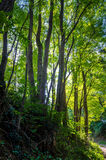 Forest dreams Stock Photography