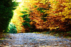 Forest dressed in autumn colors Royalty Free Stock Photo
