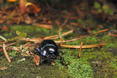 Forest dung beetle Royalty Free Stock Photography
