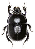 Forest Dung Beetle op witte Achtergrond Stock Fotografie