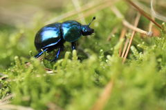 Forest dung beetle Royalty Free Stock Image