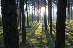 Forest at dusk Royalty Free Stock Photos