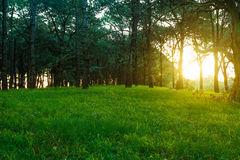 Forest at dusk. Picture of a green and lush woodland at the time of sunset.  We can see the sunlight penetrating the bush.  It has a bit of a magical and Royalty Free Stock Photos