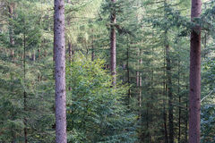 Forest of Dutch national park Veluwe with background of fir trees Stock Image