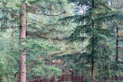 Forest of Dutch national park Veluwe with background of fir trees Stock Photo