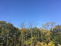 Forest, early autumn. Trees, blue sky. Early autumn forest. Vladivostok nature, bare trees Stock Photos