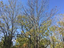 Trees, branches, blue sky. Forest. Early autumn trees, branches Royalty Free Stock Photography