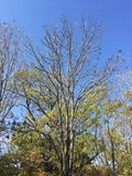 Trees, branches, blue sky. Forest. Early autumn trees, branches Royalty Free Stock Images