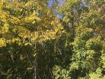 Forest, early autumn. Trees. Early autumn forest. Trees, Vladivostok nature Stock Image