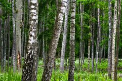 Forest in the early summer Royalty Free Stock Photo