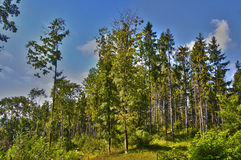 Forest Edge. The edge of the forest in Carpathians at summer morning against the blue sky Royalty Free Stock Image