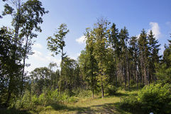 Forest Edge. The edge of the forest in Carpathians at summer morning against the blue sky Royalty Free Stock Photos