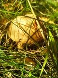 Forest Edible Mushroom lizenzfreies stockbild