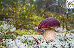 Forest edible mushroom in the moss Stock Images