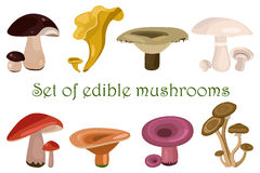 Forest edible mushrooms set.  Different types of mushrooms isolated on white background, flat style. Forest edible mushrooms set. Vector illustration. Different Stock Photos