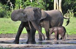 Forest Elephant africano, cyclotis del africana del Loxodonta, (elefante de la vivienda del bosque) del lavabo de Congo En el Dza fotos de archivo