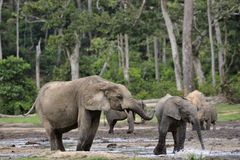 Forest Elephant (cyclotis del africana del Loxodonta) Imágenes de archivo libres de regalías