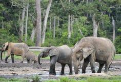 Forest Elephant (cyclotis del africana del Loxodonta), (elefante de la vivienda del bosque) del lavabo de Congo Dzanga salino ( Imagen de archivo libre de regalías