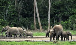 Forest Elephant (cyclotis do africana do Loxodonta) Fotos de Stock Royalty Free