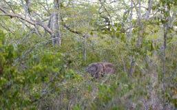 Forest Elephant dans la forêt tropicale Image stock