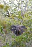 Forest Elephant dans la forêt tropicale Photo libre de droits