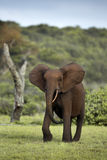 Forest elephant Royalty Free Stock Image