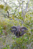 Forest Elephant in rainforest Royalty Free Stock Photo