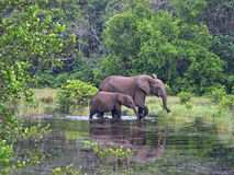 Forest Elephants, Gabon, West Africa. Forest Elephants are smaller and live in dense forests in West Africa. These here were photographed in Petit Luango in Stock Images