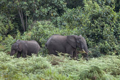 Forest elephants in Kenya Stock Photography