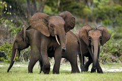 Forest elephants Stock Photos
