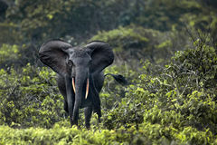 Forest elephants Stock Images