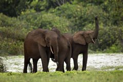 Forest elephants Royalty Free Stock Images