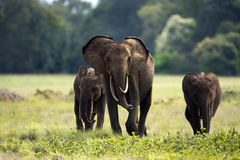 Forest elephants Royalty Free Stock Photo