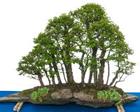 Forest with elm bonsai trees (Zelkova nire). On a stone slate royalty free stock photography