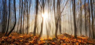 Forest enchanted by rays of sunlight in winter or autumn. Forest with young trees in autumn or winter, enchanted by rays of sunlight falling through mist stock photography