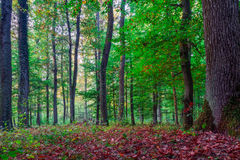 Forest in Europe in Late September. Stock Photography