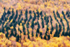 Forest of evergreen and deciduous trees Stock Photo