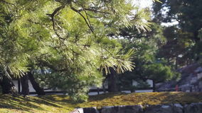 Forest and evergreen pine tree moving in the wind stock video